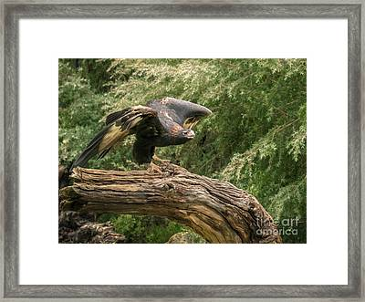 Wedge-tailed Eagle Australia Framed Print by Teresa A and Preston S Cole Photography