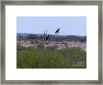 Wedge-tailed Eagles Framed Print by Phil Banks