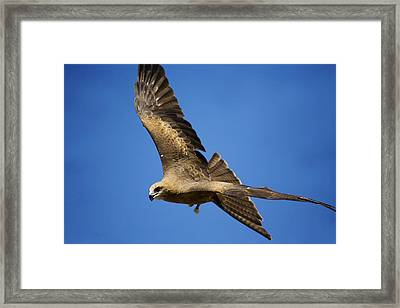 Wedgetail Eagle Flight Framed Print by Mike  Dawson