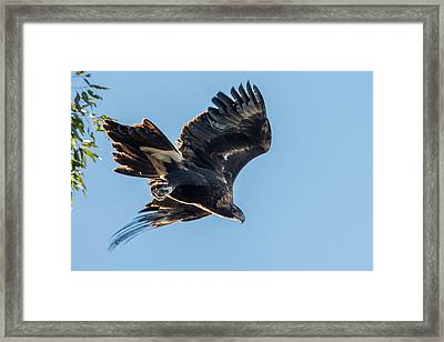 Wedgetail Eagle Framed Print by Rodney Appleby