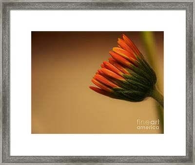 Wee Gerber Daisy In Bloom - Georgia Framed Print