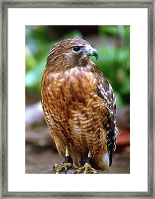 Wee Hawk Framed Print