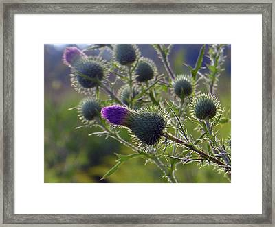 Weed Flower 1 0f 5 Framed Print by Tina M Wenger