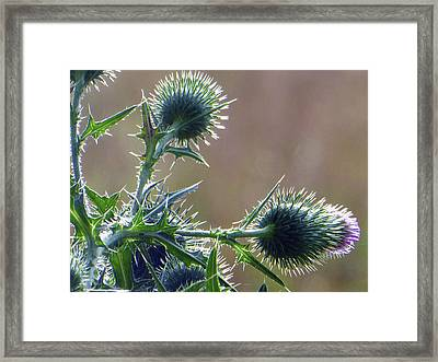 Weed Flower 5 Of 5 Framed Print by Tina M Wenger
