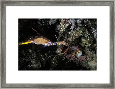 Weedy Seadragon, Off Kangaroo Island Framed Print by James Forte