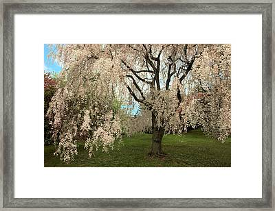 Weeping Asian Cherry Framed Print by Jessica Jenney