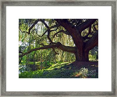 Weeping Blue Atlas Cedar Tree Framed Print by Alex Cassels