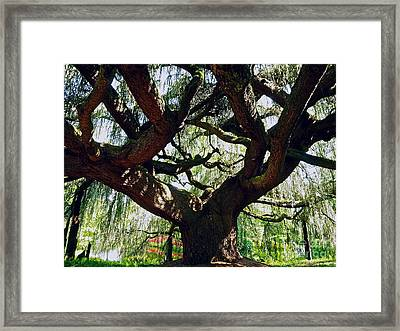 Weeping Cedar Canopy Framed Print by Alex Cassels