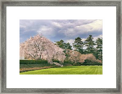Weeping Cherry In Bloom Framed Print by Jessica Jenney