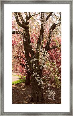 Weeping Cherry Panel Framed Print by Jessica Jenney