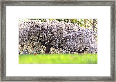 Weeping Japanese Cherry Tree Framed Print by Charline Xia