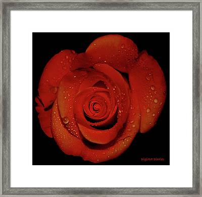 Weeping Rose Framed Print by DigiArt Diaries by Vicky B Fuller