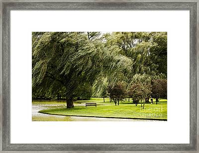 Weeping Willow Trees On Windy Day Framed Print by Carol F Austin