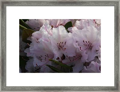 Weigela Blossom Framed Print