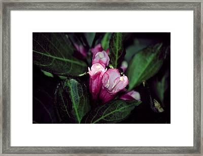Weigela Florida Dark Horse Pink Flowering Shrub Framed Print by Laura Pineda