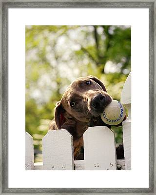 Weimaraner Holding Baseball In Mouth Framed Print by Gillham Studios