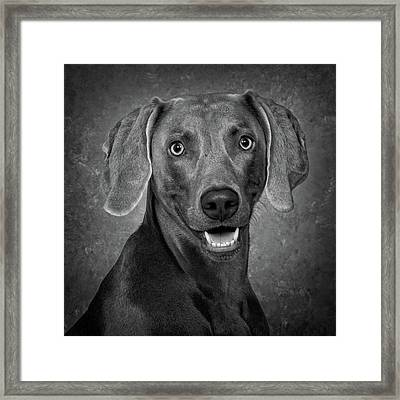 Framed Print featuring the photograph Weimaraner In Black And White by Greg Mimbs