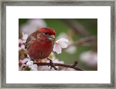Welcome Spring House Finch With Flower Framed Print