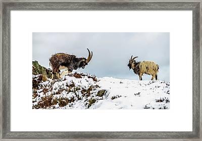 Welsh Mountain Goats Framed Print