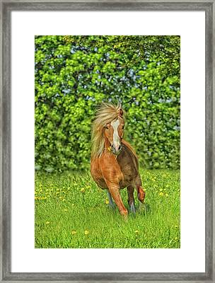 Welsh Pony Framed Print