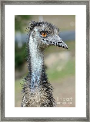 Emu 2 Framed Print by Werner Padarin