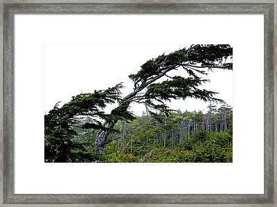West Coast  Trees In Rain Framed Print