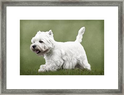 West Highland Terrier Trotting Framed Print by Ethiriel  Photography
