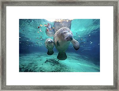 West Indian Manatees Framed Print