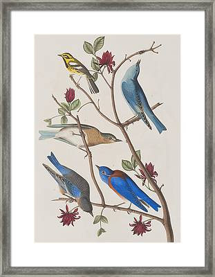 Western Blue-bird Framed Print by John James Audubon