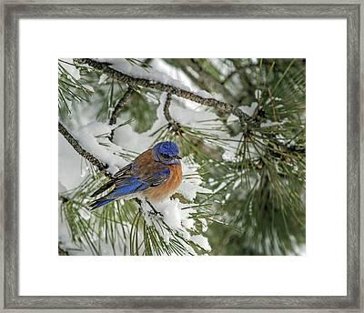 Western Bluebird In A Snowy Pine Framed Print