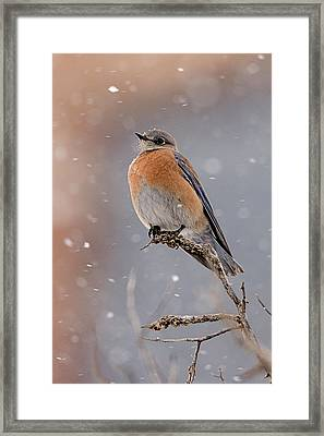 Western Bluebird In Winter Framed Print by Jennifer Nelson