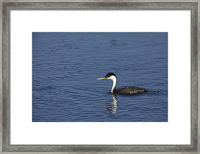 Western Grebe In Late Afternoon Light Framed Print