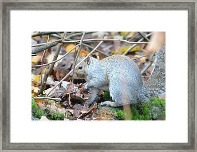Western Grey Squirrel  Framed Print