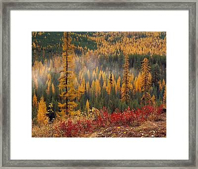 Western Larch Forest Autumn Framed Print by Leland D Howard