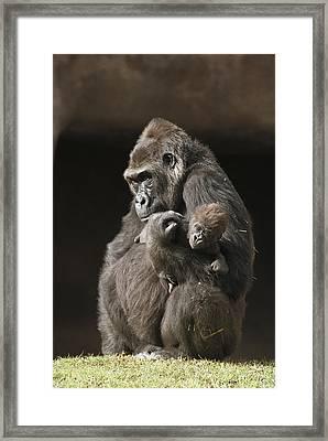 Western Lowland Gorillas Framed Print