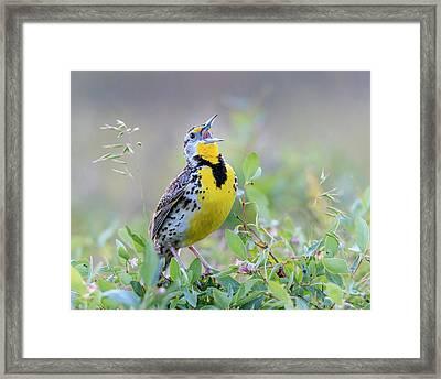 Western Meadowlark Framed Print by Jack Bell