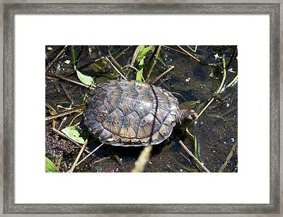 Western Pond Turtle, Actinemys Marmorata Framed Print