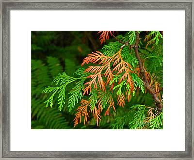 Western Red Cedar Framed Print