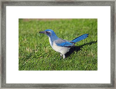 Western Scrub Jay With Beetle Framed Print by Sharon Talson