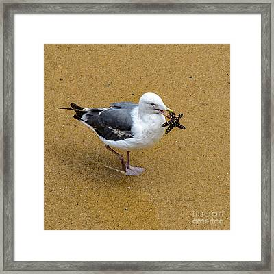 Western Seagull Carrying A Starfish Framed Print