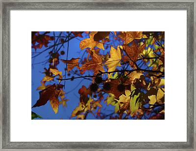 Western Sycamore Color Changing Framed Print by Ernie Echols