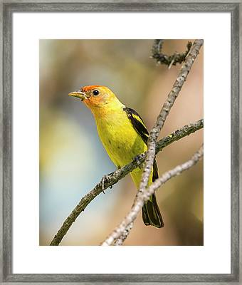 Western Tanager In The Forest Framed Print