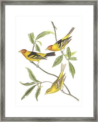 Western Tanager Framed Print by John James Audubon
