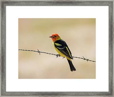 Western Tanager On Barbed Wire Framed Print