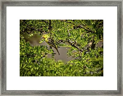 Western Tanager Framed Print by Robert Bales