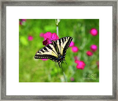 Western Tiger Swallowtail Butterfly Framed Print