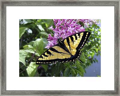 Western Tiger Swallowtail Butterfly Framed Print by Daniel Hagerman