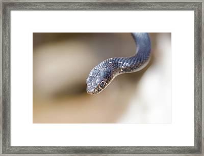 Western Whip Snake Framed Print
