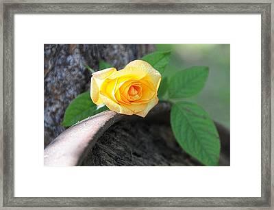 Western Yellow Rose Vi Framed Print by Jody Lovejoy