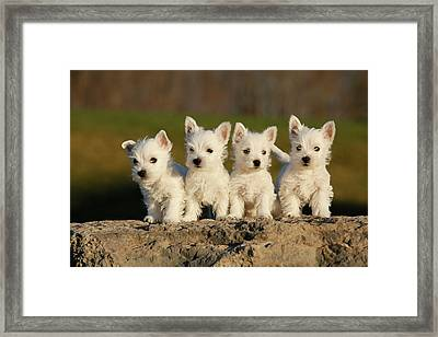 Westies On The Rock Framed Print by Celso Mollo Photography